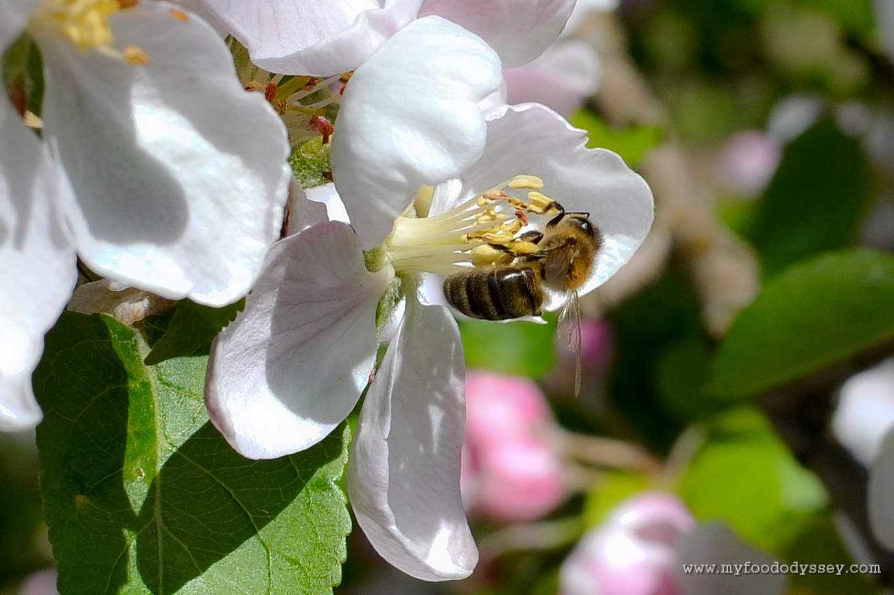 honeybee collecting pollen from an apple blossom